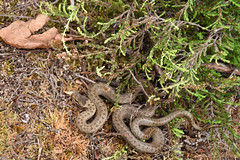 Smooth Snake (Coronella austriaca) (Sky and Yak) Tags: smooth snake smoothsnake coronella austriaca coronellaaustriaca nature naturalworld uksnakes reptile reptilesandamphibians herpetology serpent crown newforest hampshire uk nfsss rare