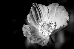 B&W Welsh Poppy (judy dean) Tags: judydean 2019 lensbaby garden poppy welsh bw