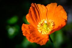 Orange Welsh Poppy (judy dean) Tags: judydean 2019 lensbaby garden orange welshpoppy flower