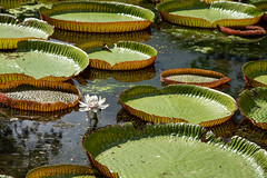 The giant water lilies (finkel1024) Tags: