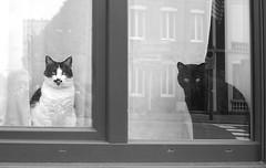 (Jean-Luc Léopoldi) Tags: chats cats fenêtre window reflection
