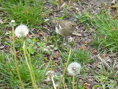 P1070833 (amalia_mar) Tags: bird country havlíčkovysady park fauna flora brown green spring colorfulnature sundaylights