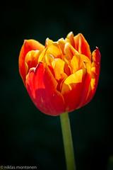 Flowers @Garden (aixcracker) Tags: may maj toukokuu spring vår kevät flower blomma kukka tulip tulpan tulppaani nikond500 nikonafs200mmf4dedmicro macro lähikuva makro red röd punainen green grön vihreä yellow gul keltainen white vit valkoinen borgå porvoo suomi finland europe europa eurooppa