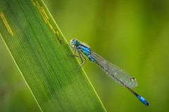 Ischnura sur son roseau. (Victor_MLZ) Tags: rennes bretagne macro libellule insecte insect animal nature etang wild photo photographie france sauvage minimaliste bleu