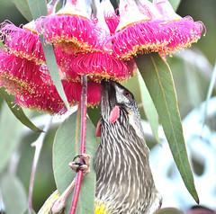 Red Wattlebird (philk_56) Tags: western australia perth red wattlebird bird caesia plant flower kings park botanic gardens