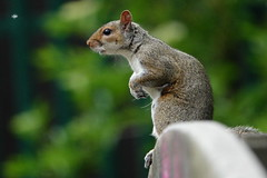 On your marks! (Paul wrights reserved) Tags: squirrel squirrels animal animals animalantics animalportrait cute cuteanimals bokeh dive diving diver swim swimmer swimming unedited