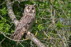 Hibou moyen-duc (Asio otus) Long-eared Owl (Denis.R) Tags: hibou hiboumoyenduc moyenduc asiootus longearedowl rapace nocturne village libre sauvage alpha7riii alpha7r3 a7riii a7r3 france lorraine moselle denisr denisrebadj wwwdenisrebadjcom