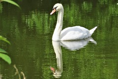 Swan Reflections (HighPeak92) Tags: swan reflections canonpowershotsx700hs