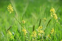Colza sauvage (Croc'odile67) Tags: nikon d3300 sigma contemporary 18200dcoshsmc nature fleurs flowers champ