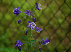 Colubnine against the fence! (ineedathis, Everyday I get up, it's a great day!) Tags: columbine chainlinkfence flower bokeh aquilegiavulgaris aquilegia grannysbonnet grannysnightcap nikond750 spring garden nature flowers blue green white yellow bud bloom stem leaves