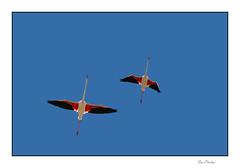 Les flamants dans l'azur (Rémi Marchand) Tags: flamant phoenicopterus phoenicopteriformes oiseauaquatique oiseauéchassier palmipède canoneos7d bird flamingo méditerranée mer littoral viclagardiole languedocroussillon occitanie vol oiseauenvol flyingbird