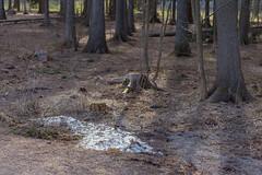Groke Trail (pni) Tags: tree park snow spring munkkivuori munkshöjden helsinki helsingfors finland suomi pekkanikrus skrubu pni mårran mörkö