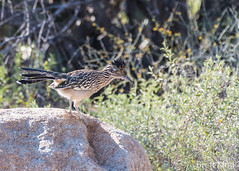 Roadrunner (dbking2162) Tags: arizona birds bird nature nationalgeographic wildlife beautiful beauty explore eyes desert