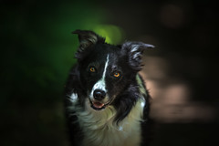 The Observed (JJFET) Tags: border collie paddy sheepdog dog