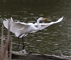 Arrived!  :) (Paridae) Tags: egret greategret casmerodiusalbus