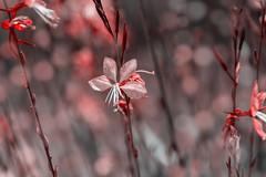flowers (Greg M Rohan) Tags: bunga flor blume fleur 花 pink red nature bloom garden plant flowers flower d750 2018 nikon nikkor 盛开 咲く 自然 性質