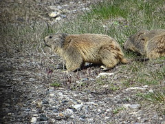 Marmot / Murmeltier