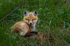 Fox Kits_93 (pixquik) Tags: foxkit fox redfox foxbaby redfoxbaby red green sleepy buckley michiganusa