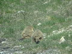 Marmots / Murmeltiere