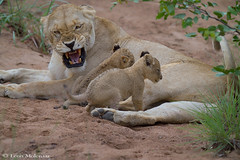 Lioness and cubs (leendert3) Tags: leonmolenaar wildlife southafrica krugernationalpark animal mammal nature africanlion ngc npc coth5