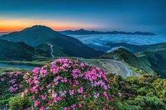 合歡山●玉山杜鵑雲海晨暮   Taiwan Alpine Rhododendron dawn (Shang-fu Dai) Tags: 台灣 taiwan 南投縣 仁愛 合歡山 雲海 mt hehuan sonya7r2 landscape sunrise dawn 日出 sun 高山杜鵑 玉山杜鵑 杜鵑 杜鵑花 alpinerhododendron formosa 3417m 合歡主峰 主峰 雲 森林 天空 風景 山 happyplanet asiafavorites