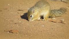 Eureka! I found it!  ( Squirrel ) (Pixi2011) Tags: wildlife krugernationalpark southafrica africa wildlifeafrica nature animals wildanimals shingwedzi