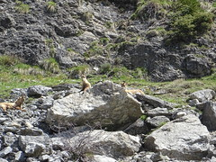 Alpine ibex / Steinbock