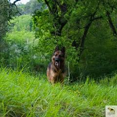 German Sherherd (Allevamento Casa Caligiani) Tags: pastoretedesco germanshepherd schäferhund gsd dog cane