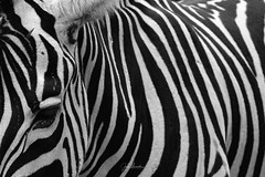Cebra de Burchelli (juanmerkader) Tags: cantabria españa nikond7100 picture spain travel viaje nikon penagos nature naturaleza