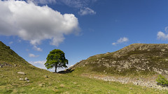 Sycamore Gap (Waving lights in the dark) Tags: 16x9 pano panoramic tree sycamoregap northumberland border hadrian hadrianswall wall landscape sonya7 24105mm effort walkabout blue bluesky sky cloud travel roman ancient