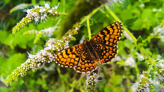 #SmileOnSaturday #Butterfly (Isabelle****) Tags: smileonsaturday butterfly papillon nature