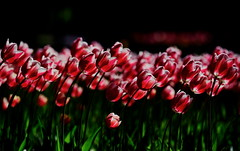 flower 1761 (kaifudo) Tags: sapporo hokkaido japan maruyamapark flower tulip 札幌 札幌市 北海道 円山公園 チューリップ nikon d5 nikkor afs 70200mmf28gedvrii 70200mm