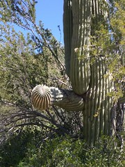 (wmpe2000) Tags: 2019 hike bartlettlake paloverdetrail cactus saguaro carnegieagigantea cactaceae cactusfamily ordercaryophyllales img20190316122058