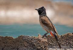 Red-vented Bulbul (a.sutradhar) Tags: ngc sigma150600mmcontemporary sonya7iii birdphotography bird redventedbulbul sigmamc11