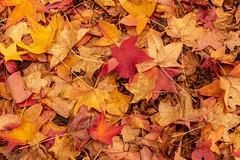 More leaf carpets (dmunro100) Tags: southaustralia australia stirling leaves autumn