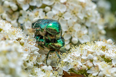 Mating Rose Chafers (Linda Martin Photography) Tags: cetoniaaurata dorset mating insect wildlife rosechafer uk nature naturethroughthelens ngc npc specinsect coth coth5