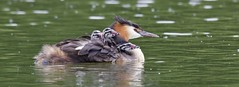 Great Crested Grebes  (In Explore) (Alan McCluskie) Tags: greatcrestedgrebes greatcrestedgrebe greatcrestedgrebechick humbug grebes lakes canon7dmk2 waterbirds sigma150600mmsp