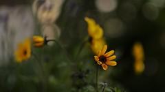 Petit soleil (La.Main.Noire) Tags: nikon d7000 nikkor prime dx 35mm flower fleur jaune bokeh home nature photography