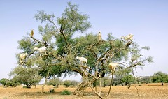 Tree goat (maios) Tags: goats tree goat howmanygoatsareonthetreegoat morocco betweenmarrakeshandessaouira marrakesh essaouira animal arganoil argan oil tamrigoat tamri argantree nikond7100 nikon d7100 maios africa travel versus κατσικόδεντρο κατσίκι δέντρο treegoat arganiaspinosa argania spinosa sapotaceae whitelatextrees whitelatex
