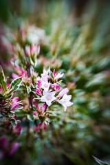 Weigela (judy dean) Tags: garden judydean sweet50 flowers may 2019 lensbaby