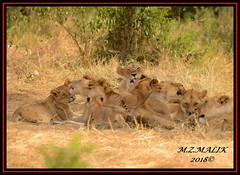 FEMALE LIONESS (Panthera leo) WITH CUBS......MASAI MARA......SEPT 2018. (M Z Malik) Tags: nikon d800e 400mmf28gedvr kenya africa safari wildlife masaimara keekoroklodge exoticafricanwildlife exoticafricancats flickrbigcats lioness lioncubs leo ngc