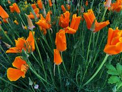still asleep (Rosmarie Voegtli) Tags: kalifornischermohn poppy green orange goetheanum dornach morningwalk