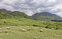 Zărnești - Brașov - România (morome7e) Tags: gopro landscape nature europe travel sheep animals mountain brasov transylvania romania zarnesti