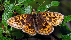 Butterfly - Alpen Perlmuttfalter - Boloria Thore (monte-leone) Tags: alpenperlmuttfalter alpen perlmuttfalter boloria thore butterfly schmetterling