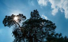 Sun in the heath (frankdorgathen) Tags: landscape landschaft alpha6000 sonyzeiss24mm pagan heath heathland heidelandschaft westruperheide backlight gegenlicht sonne sun baum tree silhouette