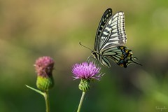 Asian swallowtail (Papilio xuthus) (takapata) Tags: sony sel90m28g ilce7m2 macro nature flower butterfly insect smileonsaturday butterflies