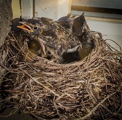 Ten Days Old (PEEJ0E) Tags: robin nest fledgling fledging chick windowsill window ledge spring baby psexpress filter