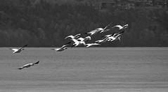 Quick take-off on afterburners (J. Trempe 3,980 K hits - Merci-Thanks) Tags: stefoy quebec canada oiseau bird geese oie decollage takeoff fauve fleuve river stlawrence stlaurent