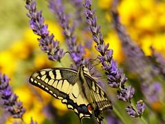 Schwalbenschwanz (Christa_P) Tags: nature fauna flora tier animal schmetterling butterfly smileonsaturday butterflies schwalbenschwanz papiliomachaon swallowtail insect