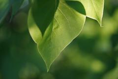 Warm sunlight (Tashata) Tags: macro nature botanical beautiful outdoor outdoors warm sunlight light leaves leaf green flora florals spring depthoffield dof sonyilce7rm2 fe90mmf28macrogoss